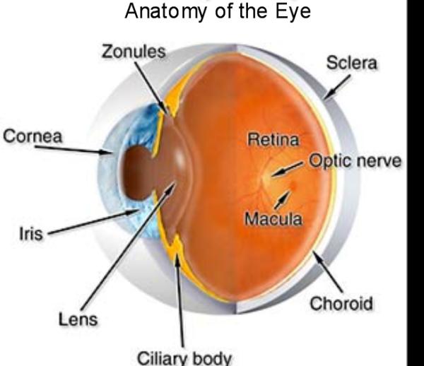 ocular anatomy Master Eye Associates