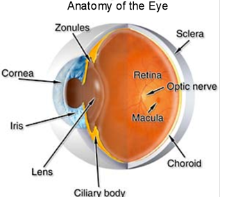 ocular anatomy Master Eye Associates